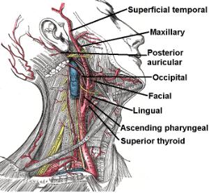 External_carotid_artery